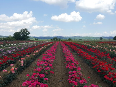 Production nursery plants trade wholesale distribution Serbia Bosnia East Europe