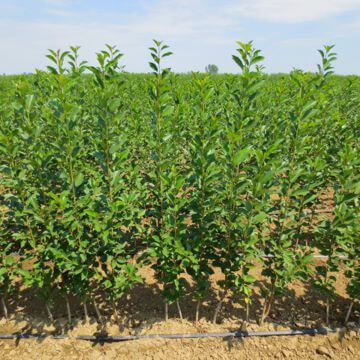 Nursery fruit trees