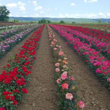 Nursery Rose Plants