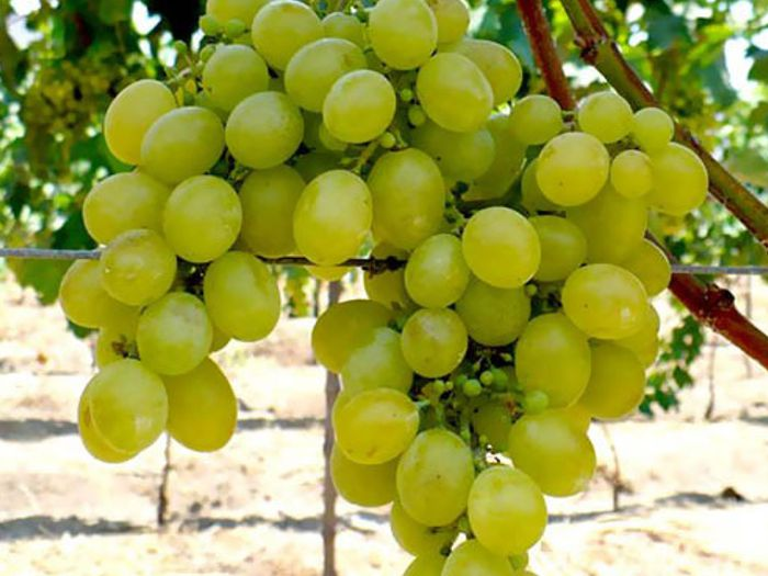 Economic Cooperative – Buy wholesale grapevine plants